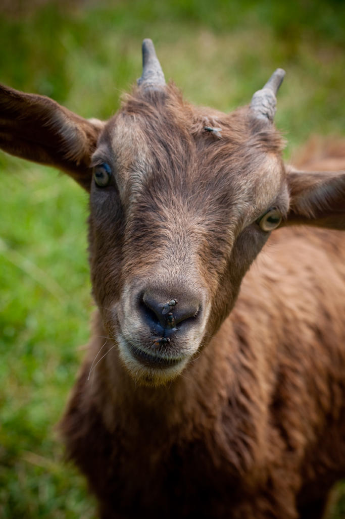 11_CC_Goat.jpg