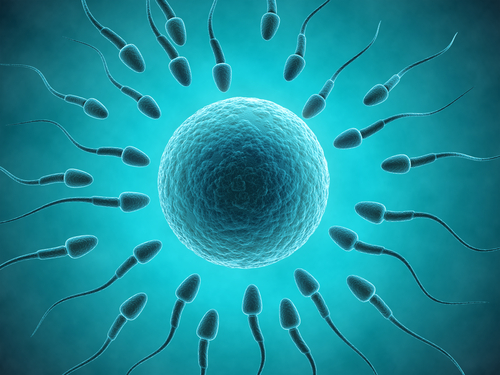 Sexual reproduction in humans involves the union of