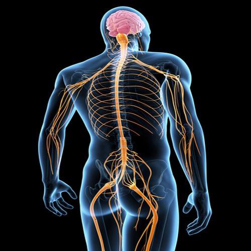 Spinal Nerves — Richards on the Brain