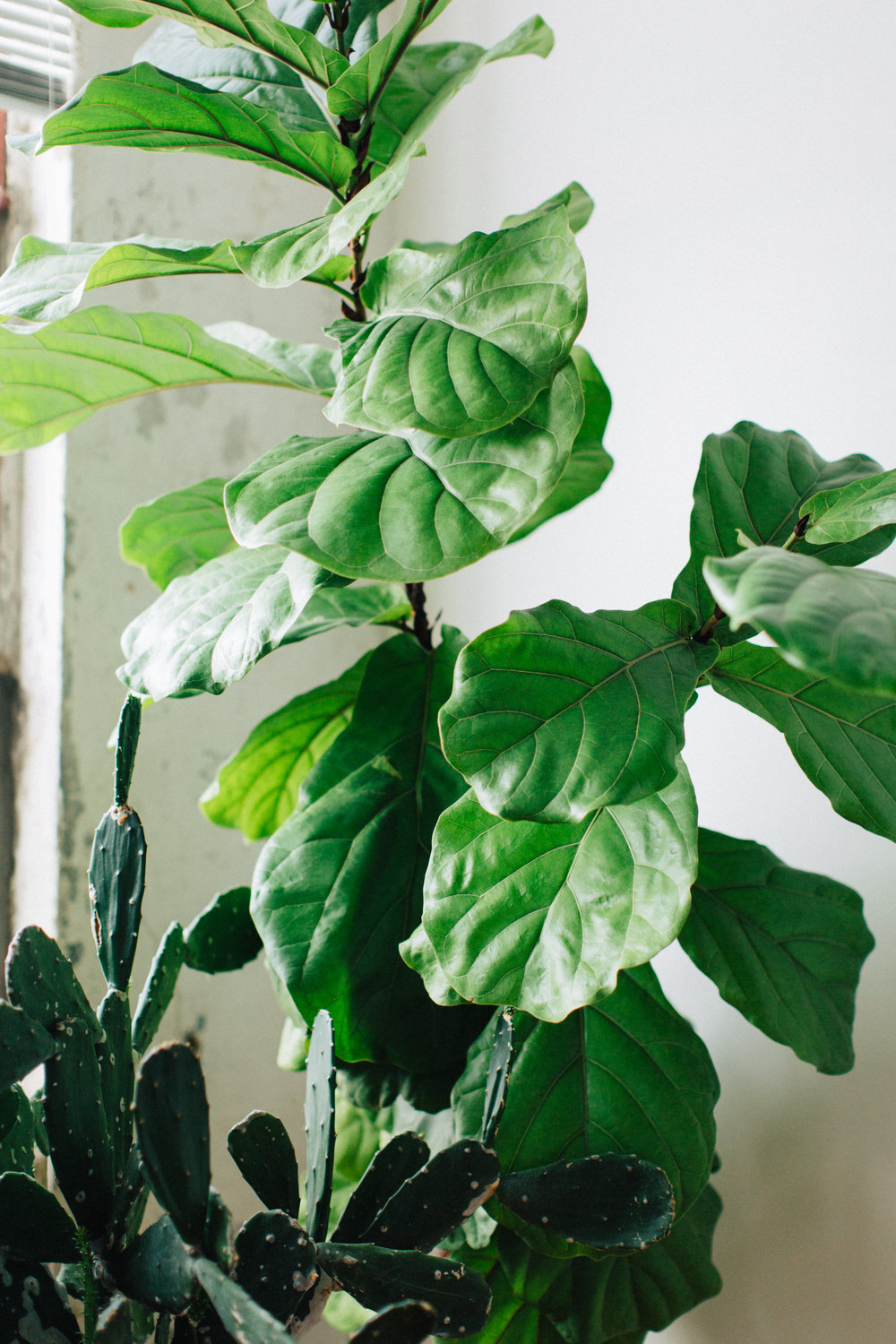 How to care for a fiddleleaf fig