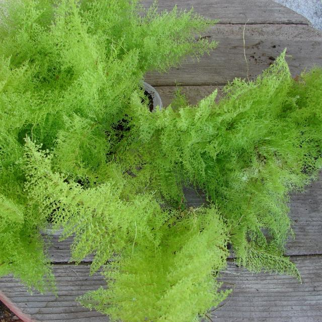 Cotton Candy Fern - Can't wait to get my hands on one of these!