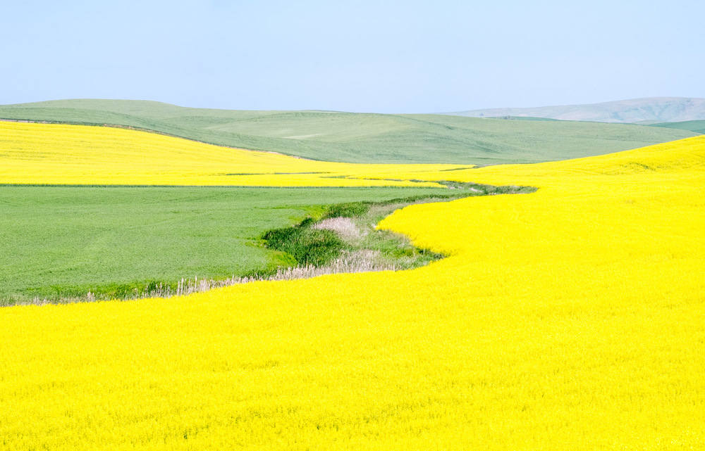 Acres of Yellow Canola