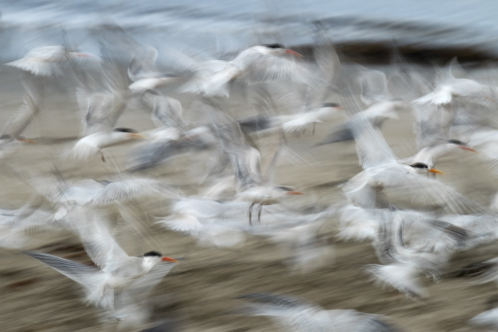 Ternado  Elegant Terns on Seacliff State Beach   Purchase