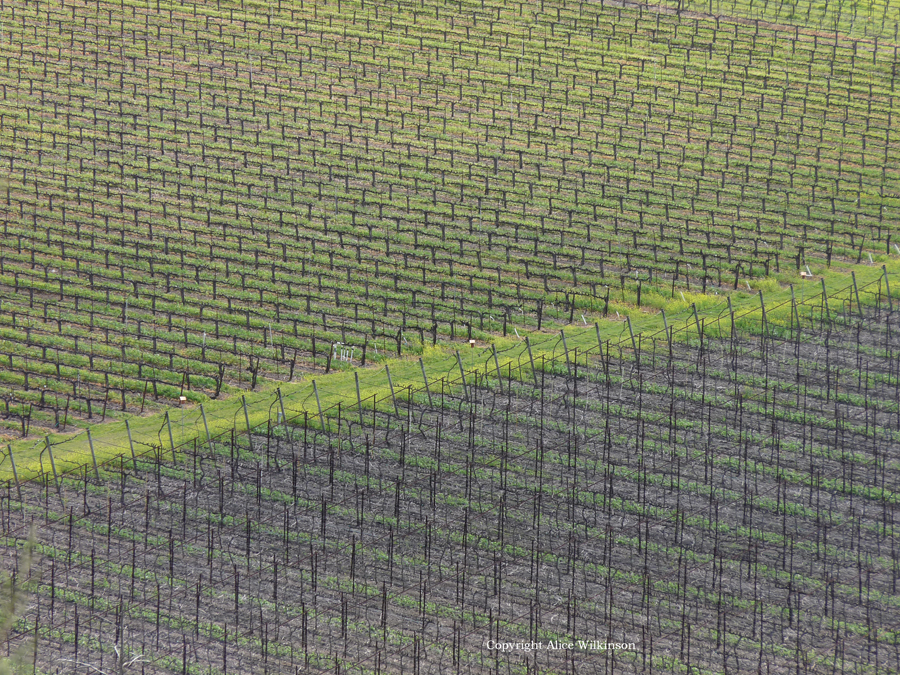 vineyard with green diagonal