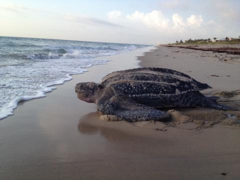 Delray Beach Loggerhead Turtle