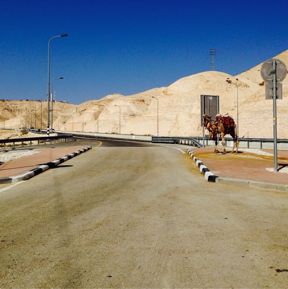 Camel on the side of the road in Israel