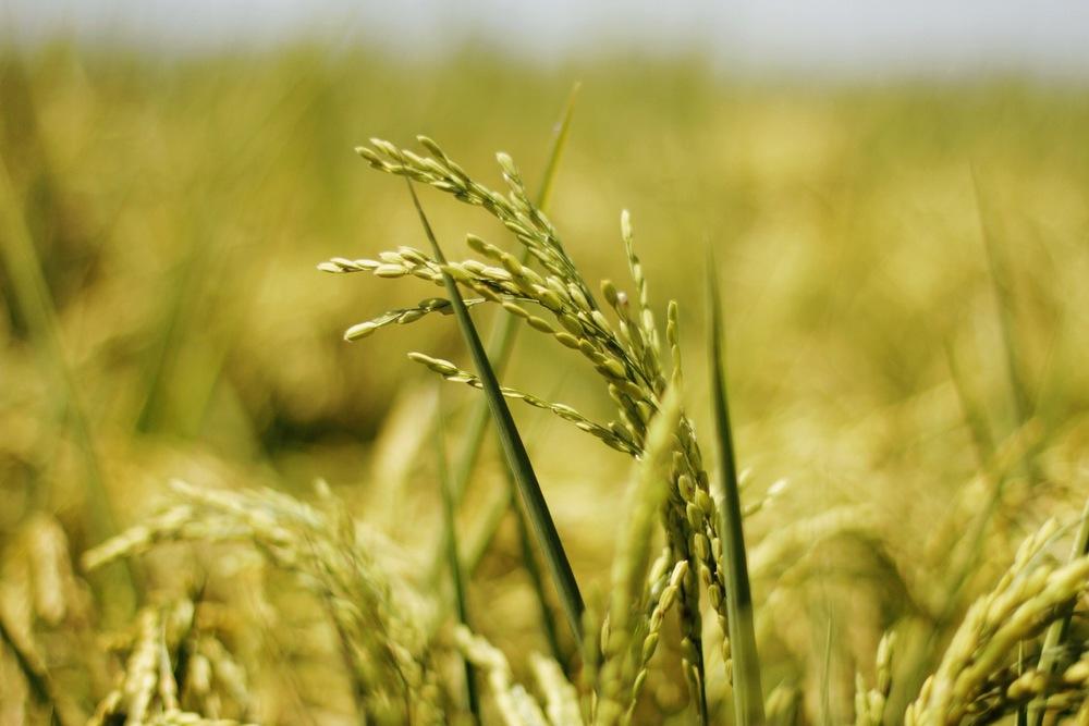 Rice Background.JPG