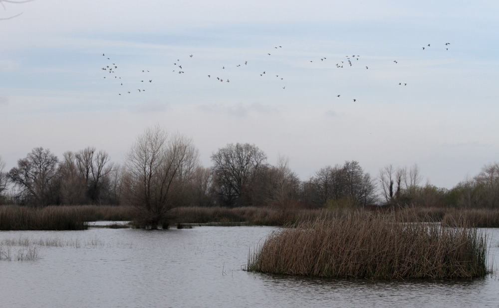 Ducks circle the wetland, before landing in the pond.