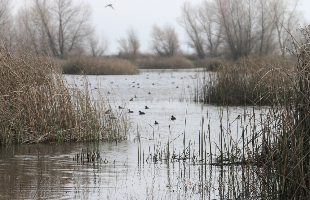One of the many channels at the wetland, filled with various waterfowl.