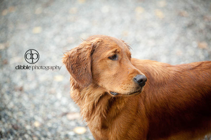 golden-retriever-7574.jpg