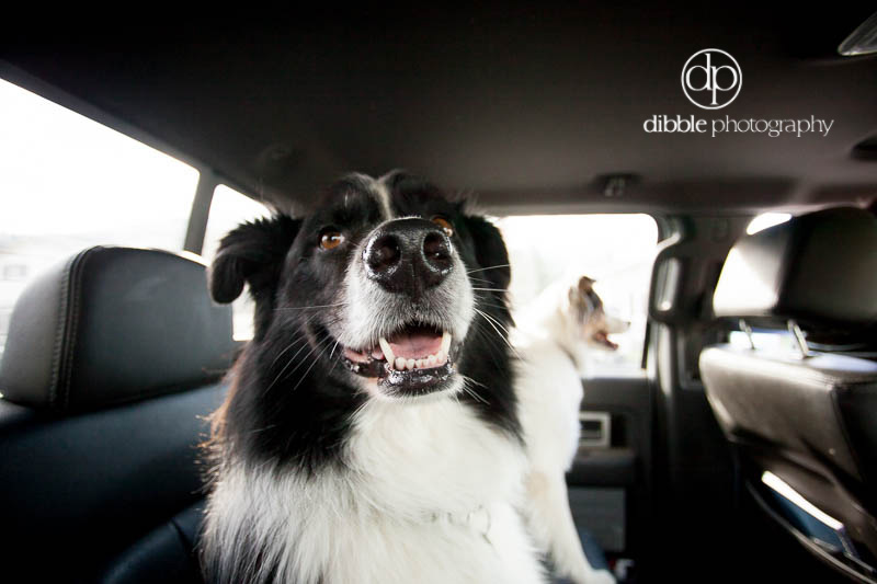 happy dog in backseat