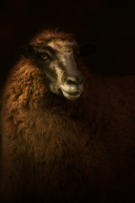 Mixed breed ewe, Epitaph series