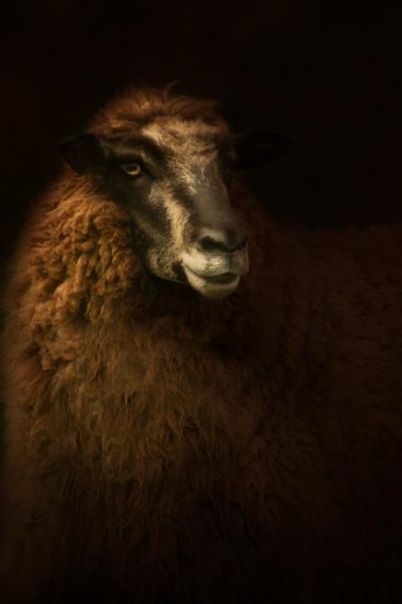 Mixed breed ewe, Epitaph series