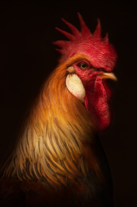 Rooster, Poultry series