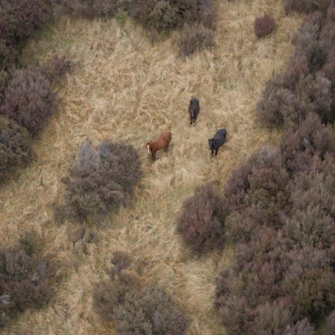 Jan Maree Vodanovich - Kaimanawa Wild Horses