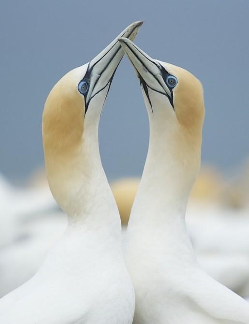 Evan McBride - Australasian Gannets