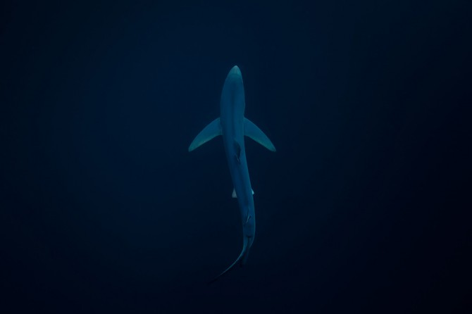 RichardRobinson_BlueShark