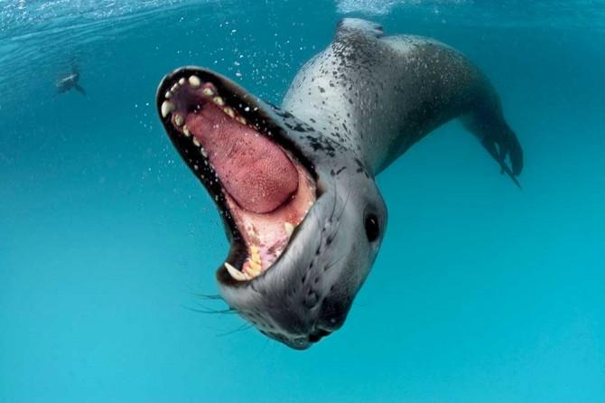 leopard-seal,-Antarctica