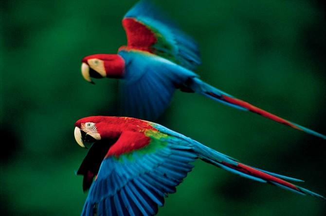 macaws,-Madidi-National-Park,-Bolivia