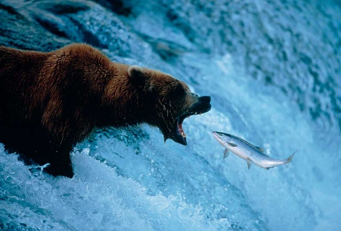 grizzly-bear-and-salmon