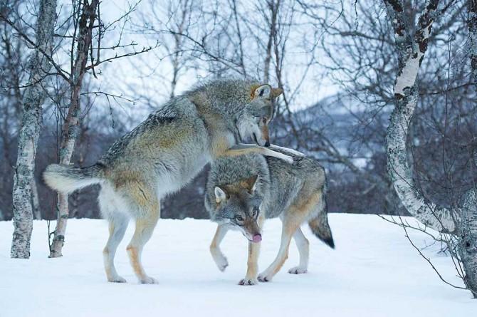7a_861_Scandinavian-Wolves,-Evan-McBride