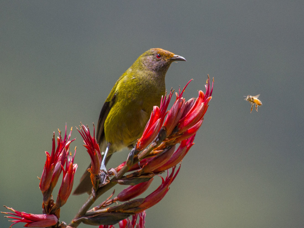 Ross McIvor, Bellbird and Bee