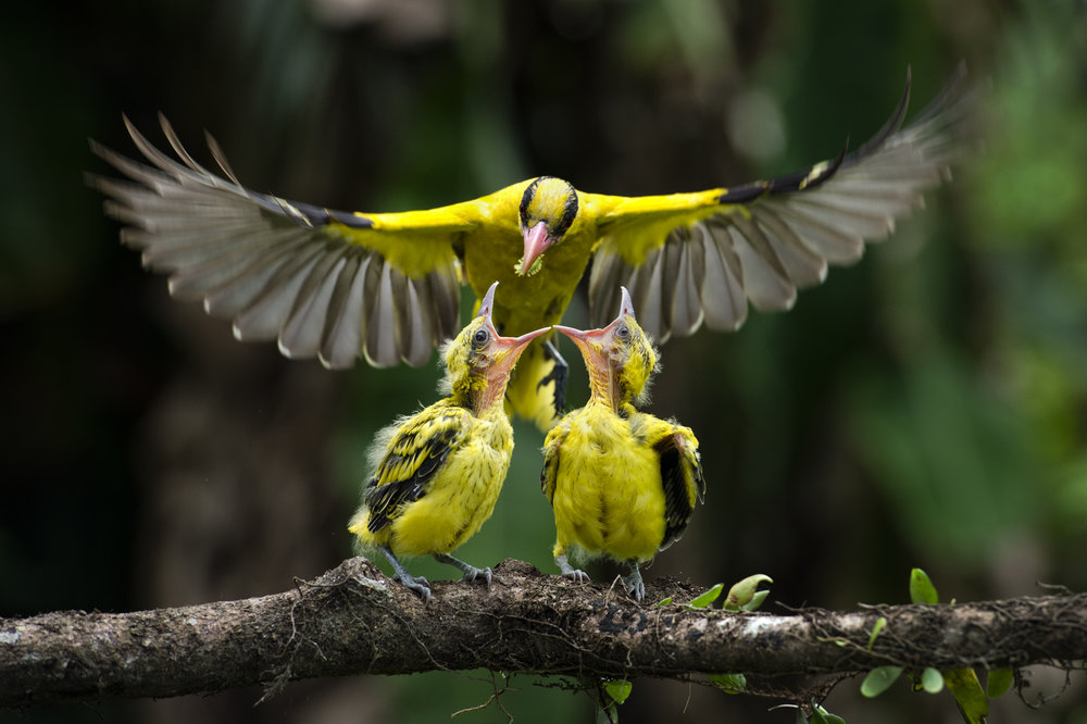 Kim Hui Yu, Malaysia,  Wildlife Photographer of the Year