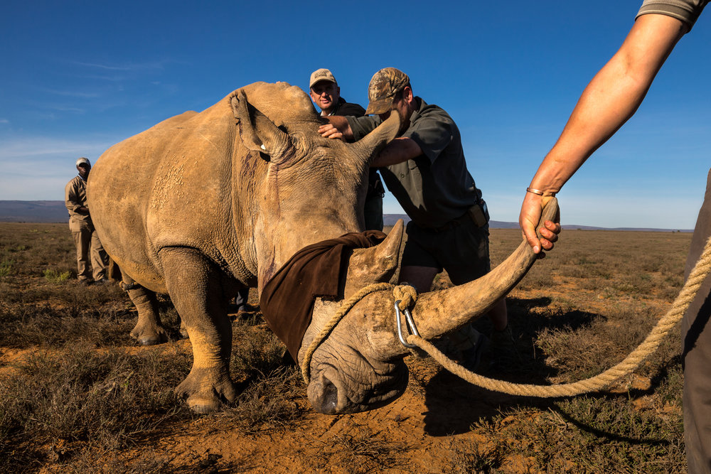 Brent Stirton, Getty Images photographer, Wildlife Photographer of the Year, Wildlife Photojournalist Award: Photo Story, First place, The Deadly Rhino Horn Trade, Memorial to a species: Ezulu Game Farm, Grahamstown, South Africa, May 15, 2016.  our pairs of Cow and calf rhinos are captured and moved into transport for relocation to a more secure facility. This is the last of 27 Rhino that are being moved away from game farms in the Port Elizabeth/Grahamstown region where it is feared that security is inadequate to protect these rhino from poachers. 6 rhino have already been killed in the last 3 months and the professional manner in which they were poached has prompted owners to say that it is better for these rhino to leave their farms and go to a more secure facility. The rhinos will travel for 20 hours to their new location and will be sedated every three hours by a vet who will accompany them at all times. They will also be guarded by full time security for their journey and full time at their final location. It is a truism of rhino ownership these days that owners can often not afford the expense of full time security for these animals, such is the pressure from poachers and the value of their horn in Asia.