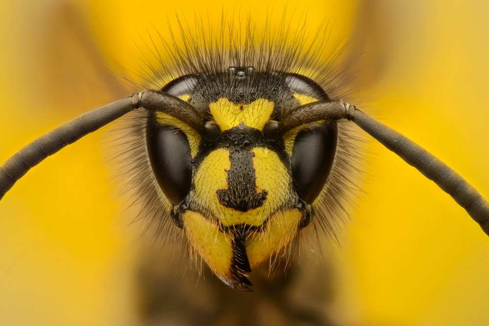 Macro category winner, Murray McCulloch, Vespula Vulgaris