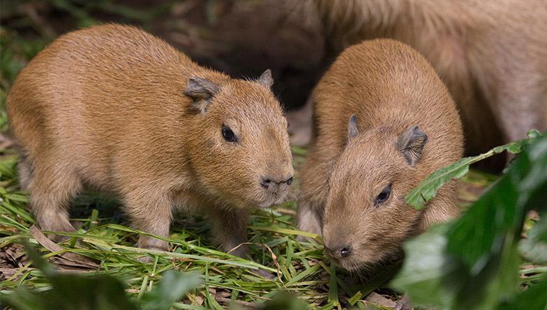 generic-capybara-1-rectangle.jpg