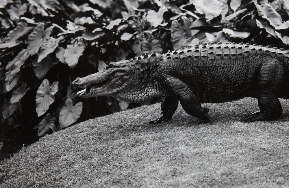 Peter Peryer, Alligator, 1998