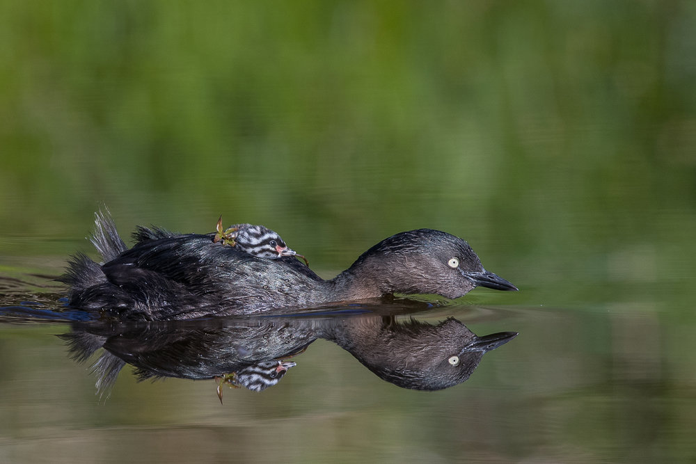 Chris Helliwell, New Zealand Dabchick with Young, Gold Medal, Best New Zealand Wildlife Print, PSNZ Canon National Exhibition 2018