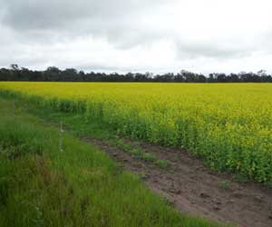 Indian Mustard growing at Longwood