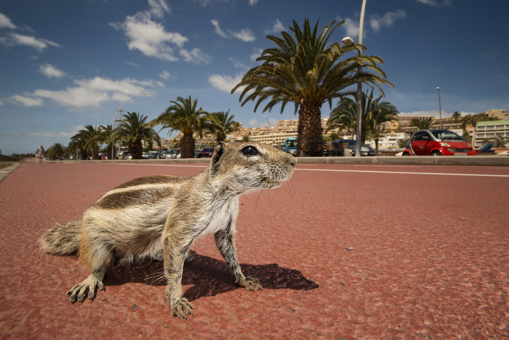 The Barbary ground squirrel is an invasive species on the Canarian holiday island of Fuerteventura, where tourists refer to them as chipmunks