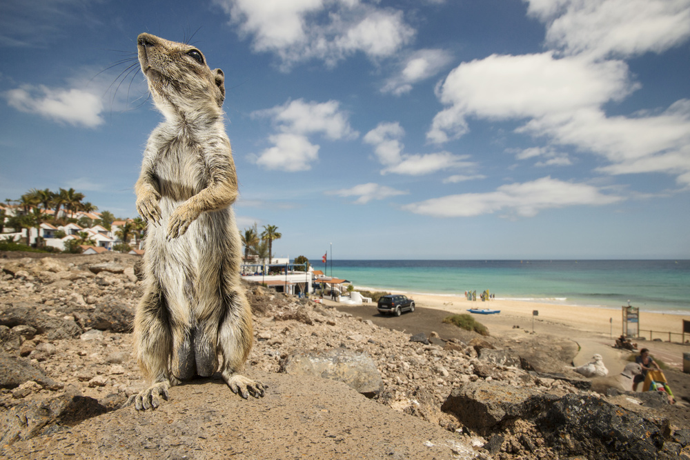 High densities of ground squirrels can be found wherever there are tourists. Beach-side resorts offer the richest pickings
