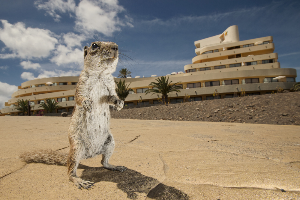 The Barbary ground squirrel is thought to have first arrived in 1965 and is one of only a few mammal species that inhabit the island - all of which (except the bats) were introduced by man