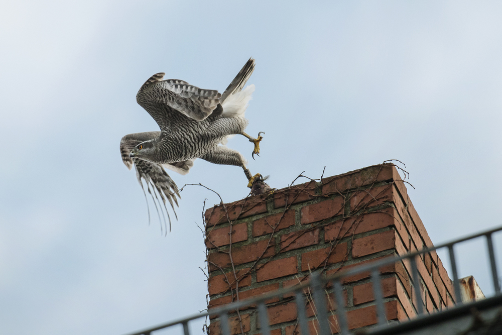 The future is looking bright for the urban goshawk, but it is impossible to know for certain without the kind of scientific study being undertaken by Dr. Kenntner and his colleagues