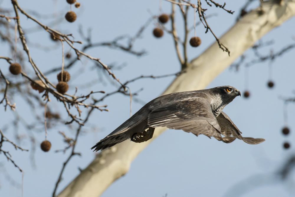 The Berlin goshawks are relatively free from persecution compared to their rural cousins. In the city, there are more eyes to monitor and look out for them