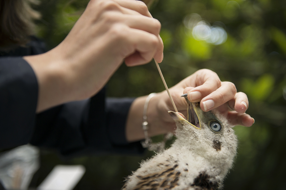 Crop samples are taken to test for diseases like trichomonosis, which has become quite common in urban goshawks and could be transmitted through their feral pigeon prey