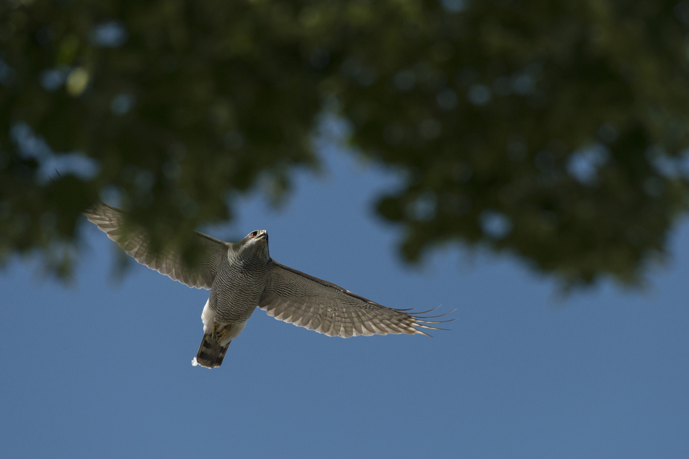 Fabled in folklore and notoriously elusive, the northern goshawk has found a home in the city's tree-tops