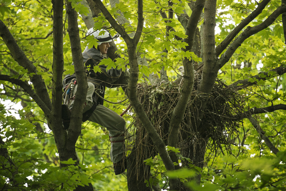 The nest can be over 1.5 metres wide and over a metre deep