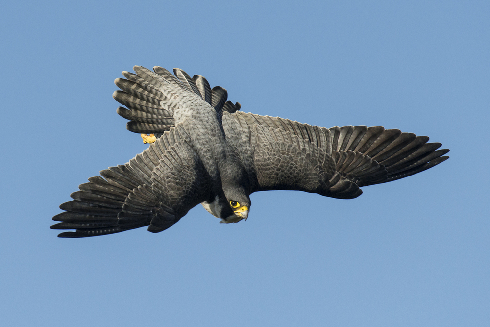 The peregrine falcon. Ruthless killer, graceful aerial acrobat and fastest creature on the planet