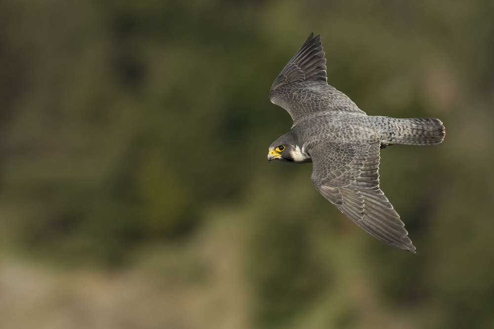 Recovering from under 400 pairs in the 1960s to well over 1500 today, peregrines have made a come-back and are giving us better and closer views than ever before