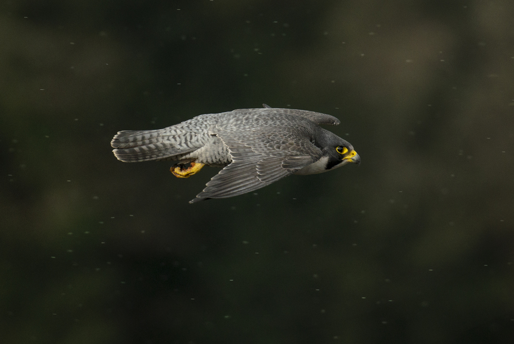 "The peregrine, or ""wandering"" falcon is no longer a nomad, preferring to hold its territory year round, come rain or shine"