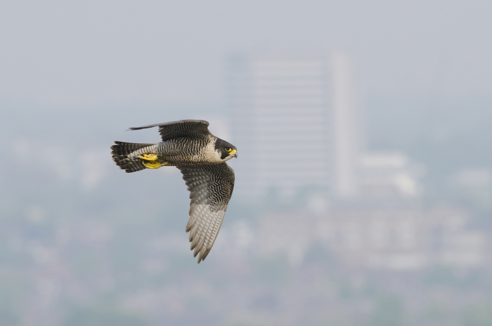Tall city structures replace crag and cliff and now peregrines are just as comfortable patrolling our urban skies