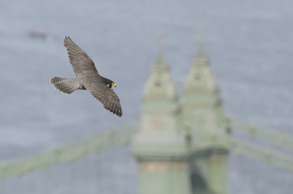 Urban peregrines often nest near rivers as they are natural conduits for birds on the move and it pays to to make the most of this regular source of food
