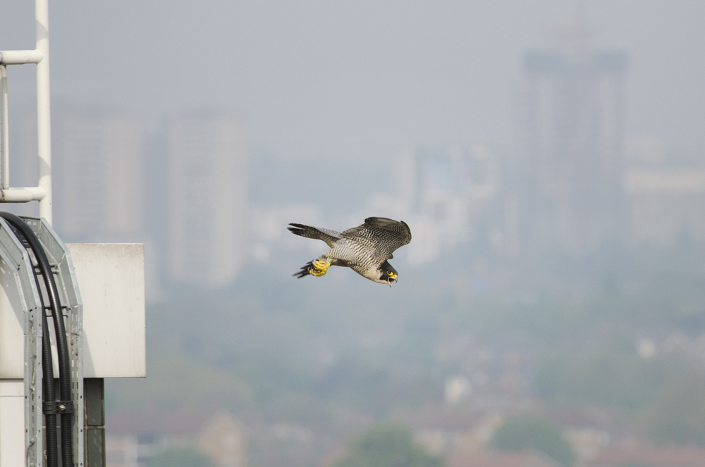 The artificial lights from buildings and street-lamps create a glow, which the peregrines use to hunt migrants on passage under the cover of darkness, oblivious to the dangers below