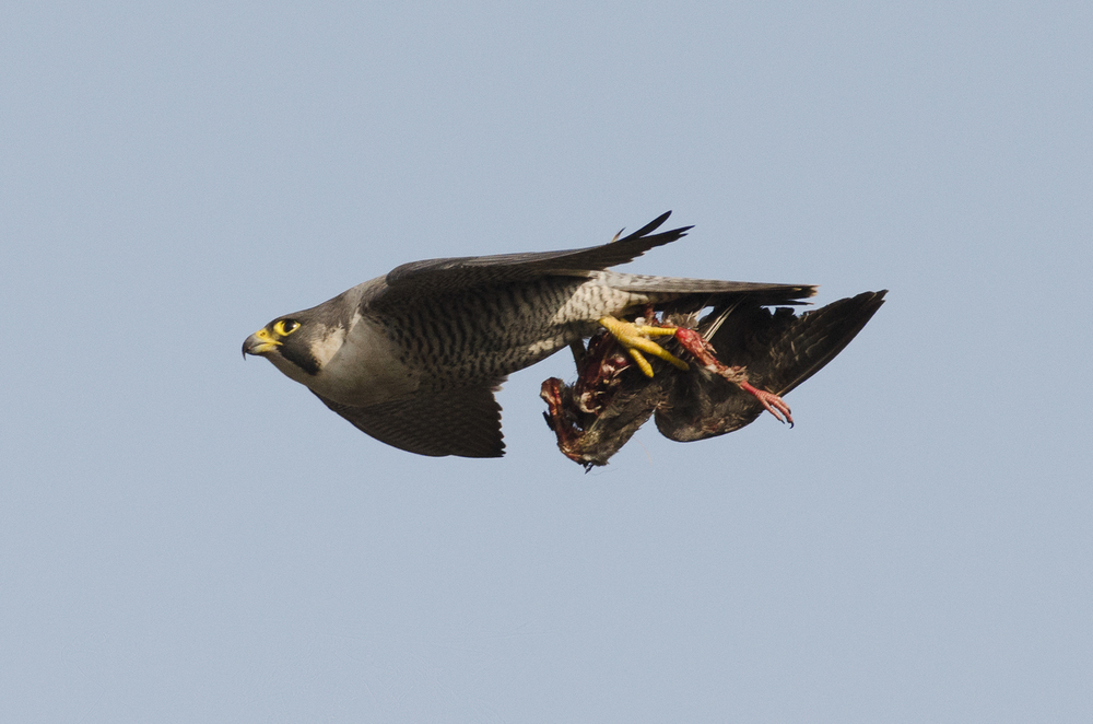 The feral pigeon is an important prey species for the urban peregrine, but only makes up around 50% of its diet. In Autumn and Winter that can drop to less than a third