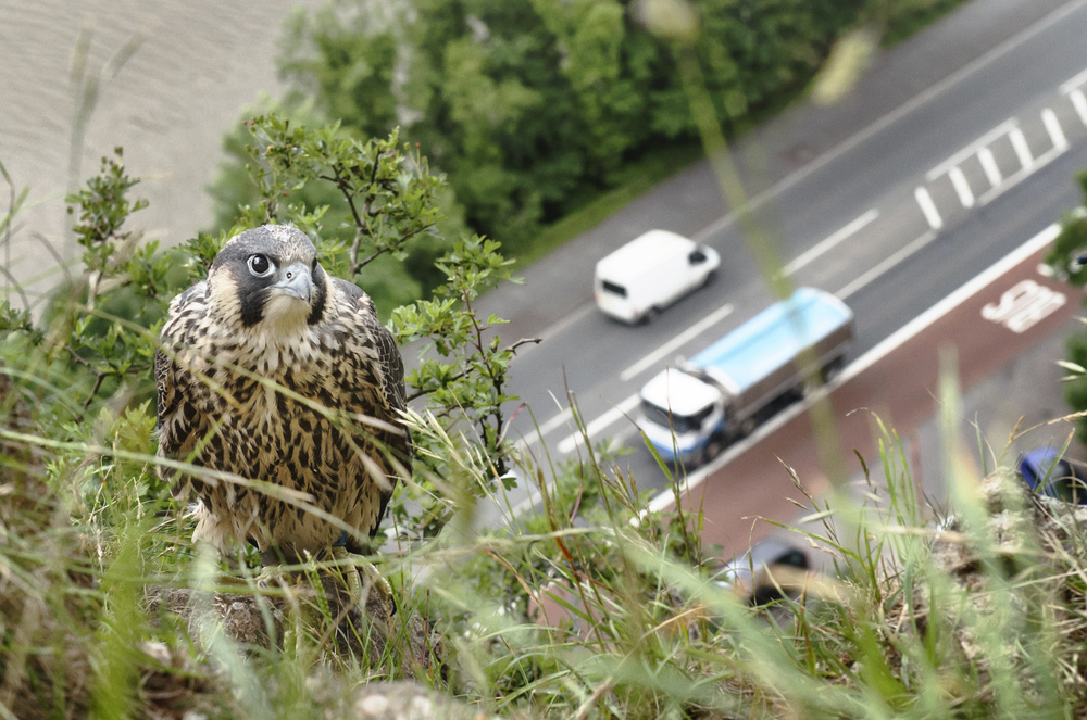 Clumsy fledglings can turn up in unexpected places, like this cliff-top above a busy main road