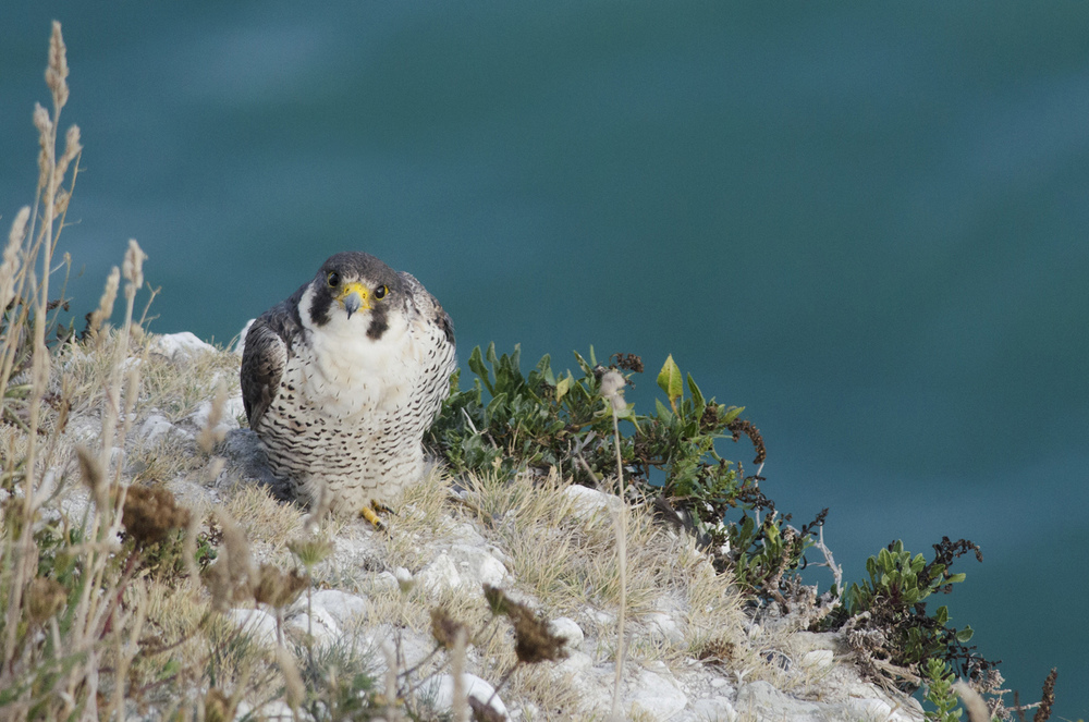 Coastal peregrines will often stay close to busy sea-ports like this one on the white cliffs near Dover, ostensibly for the pigeons, but perhaps more likely for the added light to hunt nocturnally